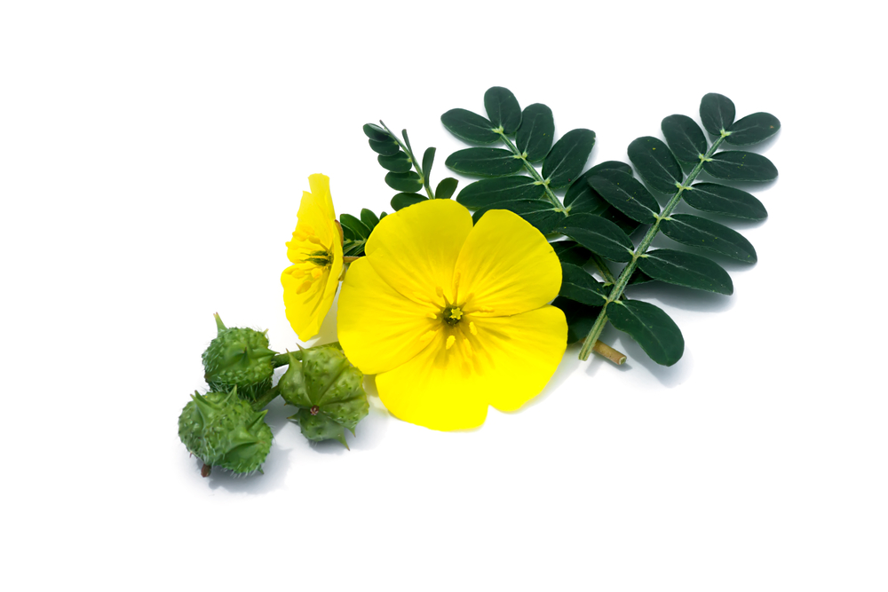 What To Know About Tribulus?